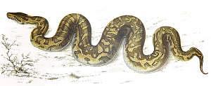 rock-python-smith_1840